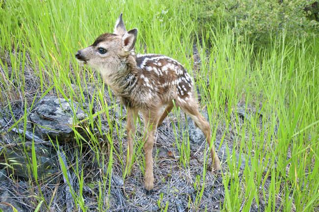 Veado-mula recém-nascido fawn na grama verde — Fotografia de Stock