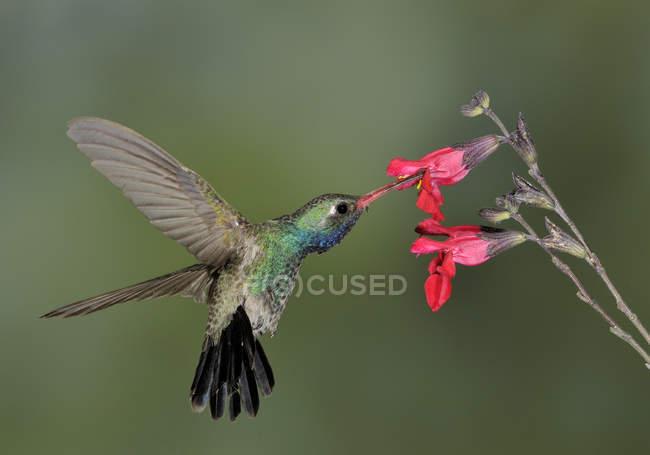 Broad-billed hummingbird revoloteando junto a flores y alimentación en zonas tropicales. - foto de stock