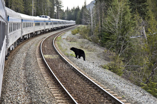 Black bear standing beside railway tracks and moving train in British Columbia, Canada — Stock Photo