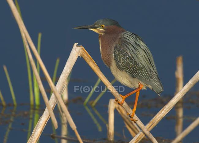 Pássaro verde Garça empoleirar-se em plantas no pântano — Fotografia de Stock