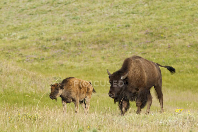 Cow and calf of plains bisons grazing on green pasture in Waterton Lakes National Park, Alberta, Canada — Stock Photo