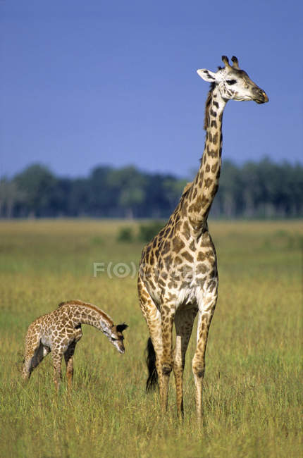 Giraffe with calf in grassland of Masai Mara Reserve, Kenya, East Africa — Stock Photo