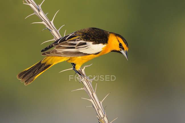 Giovenchi oriole uccello appollaiato su un ramo secco, close-up — Foto stock