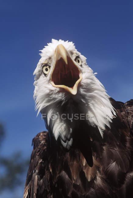 Белоголовый орлан, вызов с клювом открыть на открытом воздухе, вид спереди. — стоковое фото