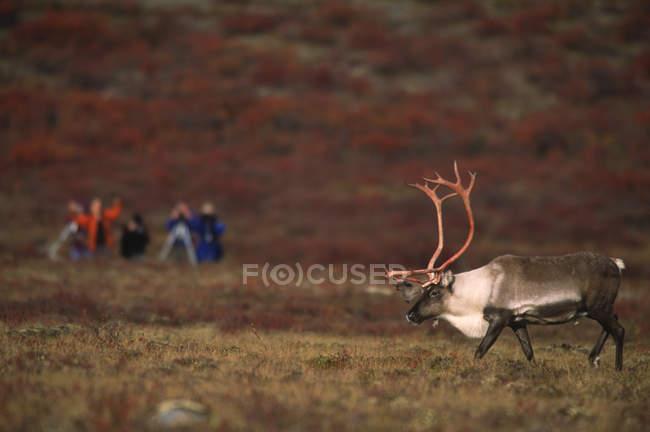 Бесплодной земли карибу быка осенних тундре с туристами, наблюдая возле Озеро сиг, северо-западные территории, Канада — стоковое фото