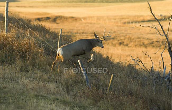 Мужского оленя мула, перепрыгивая через ограждение на поле — стоковое фото