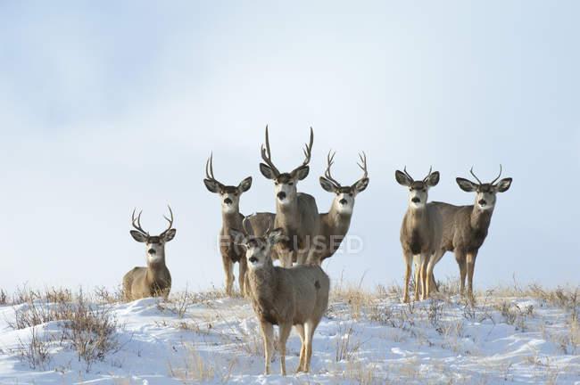 Maultier erwachsene Männchen auf schneebedecktem Hügel — Stockfoto