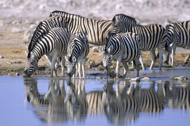 Plains zebras drinking at waterhole in Etosha National Park, Namibia — Stock Photo