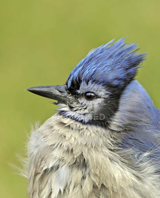 Retrato de jay azul con cresta, vista lateral - foto de stock