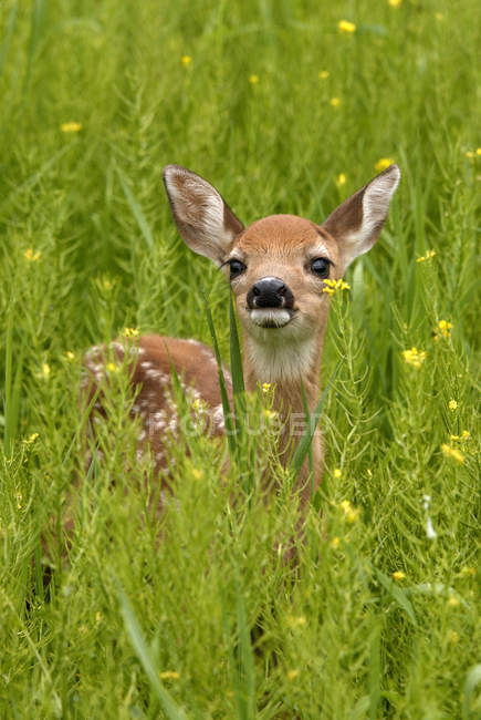 Whitetail deer fawn standing in flowering field of wild mustard plant — Stock Photo
