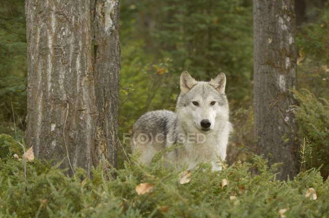 Волк в осенний лес листва, Монтана, США. — стоковое фото