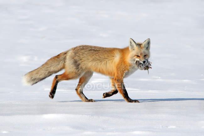 Лисиця ходьба і проведення полюють на снігу. — стокове фото