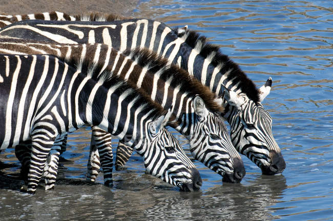 Plains zebras drinking at temporary river, Masai Mara Reserve, Kenya, East Africa — Stock Photo