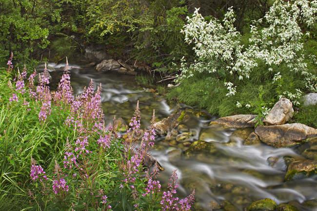 Широколиственный, растущих вдоль берега ручья, Национальный парк Банф, Альберта, Канада — стоковое фото