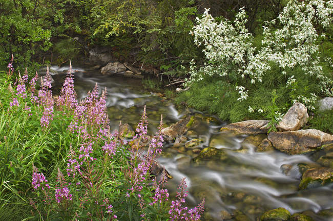 Fireweed growing along creek shore, Banff National Park, Alberta, Canada — Stock Photo