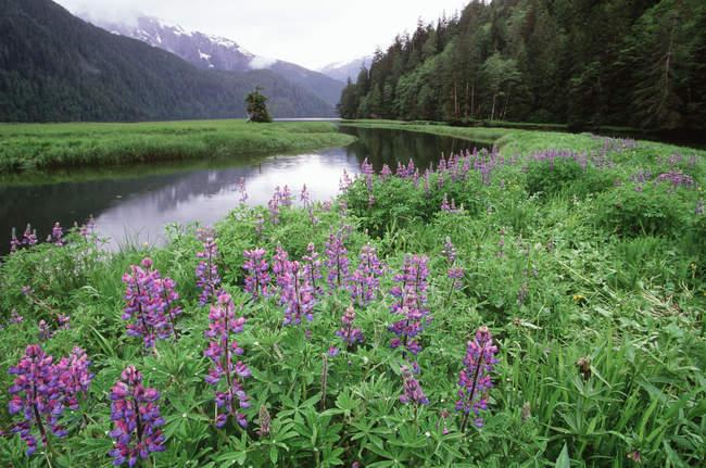 Altanash Estuario e lupini in fiore a Central Coast, British Columbia, Canada . — Foto stock