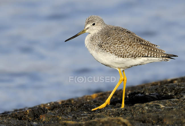 Greater yellowlegs wading on rocky shore by water — стокове фото