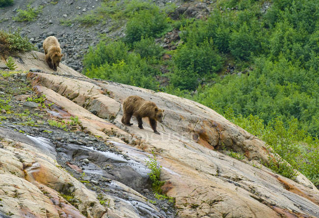 Grizzly bears descending rock formation Roche Moutonnee of Coastal Mountains, British Columbia, Canada — стокове фото