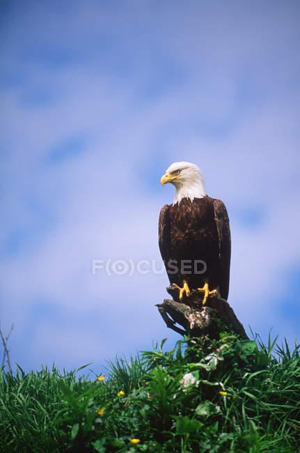 Águila calva sentada en la parte superior del árbol, vista de ángulo bajo . - foto de stock