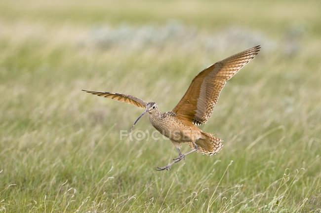 Рахунок виставляється Long curlew посадки на лука. — стокове фото