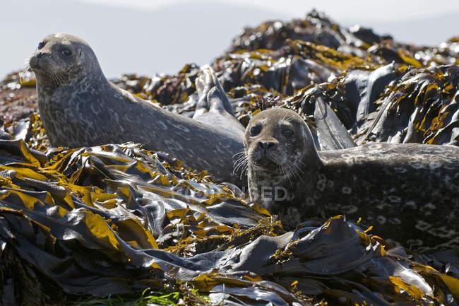 Coppia di foche portuali che guardano in camera dalle piante di alghe sulla costa rocciosa . — Foto stock