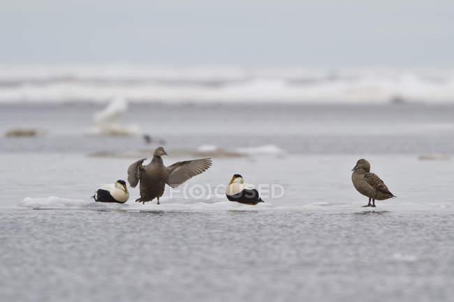 Common eiders perched on ice in Churchill, Manitoba, Canada. — Stock Photo
