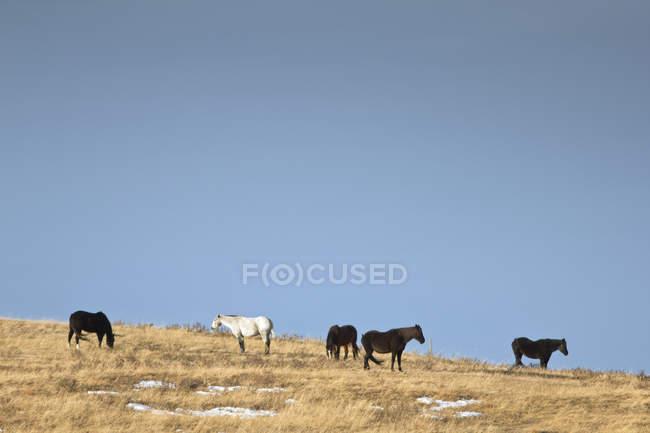 Pferde weiden auf der Prärie in der Nähe von Cochrane, Alberta — Stockfoto