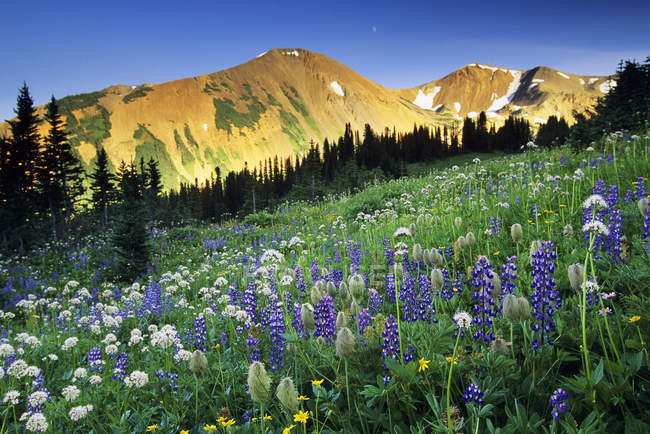 Wildflower meadow on slope of South Chilcotin Range, Taylor Basin, British Columbia, Canada. — Stock Photo