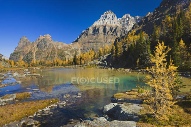 Larch trees in autumnal foliage at Opabin Plateau, Yoho National Park, British Columbia, Canada — Stock Photo