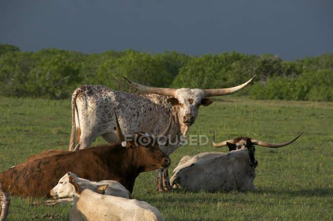 Herde von Texas Longhorn Rindern in Ruhe im Sommer grüne Feld in Texas, Usa. — Stockfoto