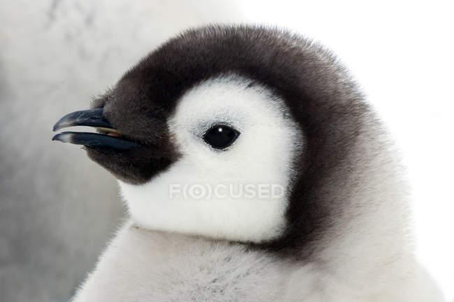 Emperor penguin chick, close-up portrait. — Stock Photo