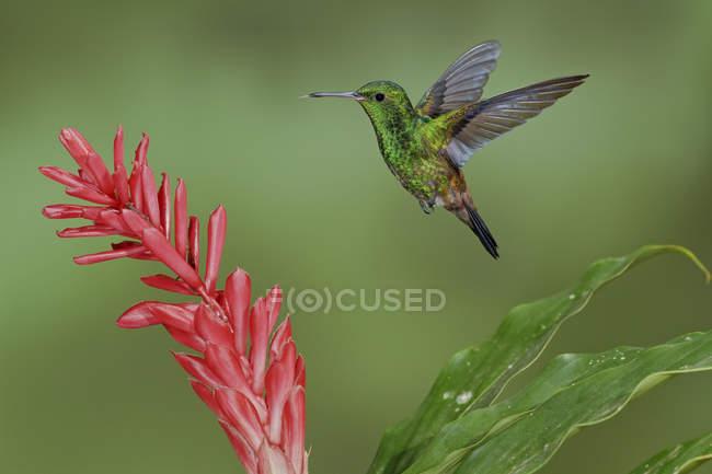 Мідь rumped колібрі flying Приступаючи до годівлі в квітка у Тринідад і Тобаго. — стокове фото