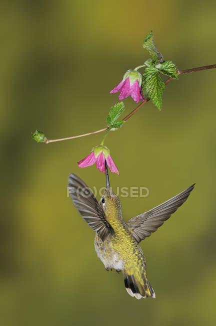 Жіночий Анни Hummingbird годування на квітку, Закри. — стокове фото