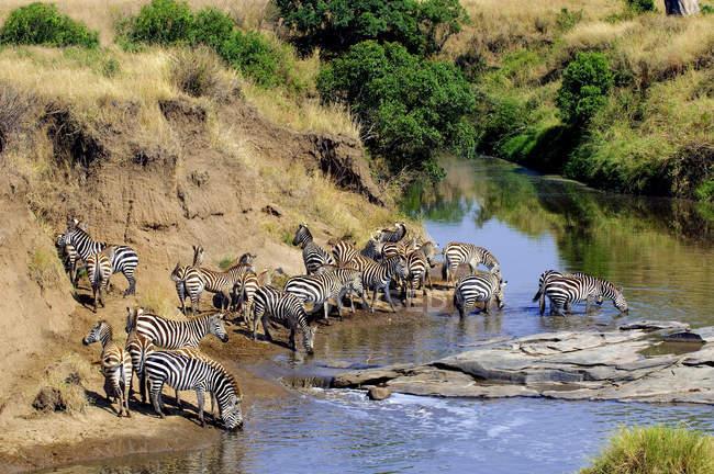Plains Zebras trinken am temporären Fluss, Masai Mara Reserve, Kenia, Ostafrika — Stockfoto