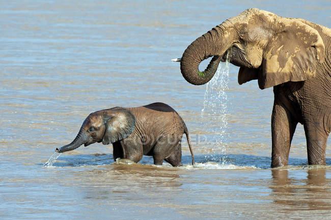 Африканський слон з теля, купання в річці Ewaso Nyiro в Самбур Національний парк, Кенія, Східна Африка — стокове фото