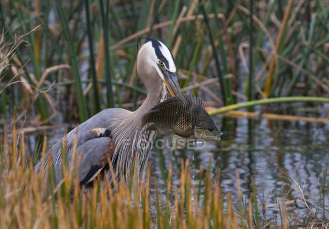 Captura de aves Garza de gran azul con peces en humedal. - foto de stock