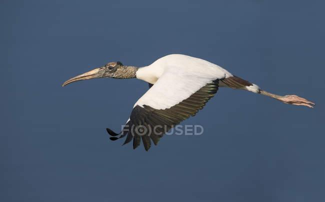 Volo a mezz'aria contro il cielo blu della cicogna di legno — Foto stock