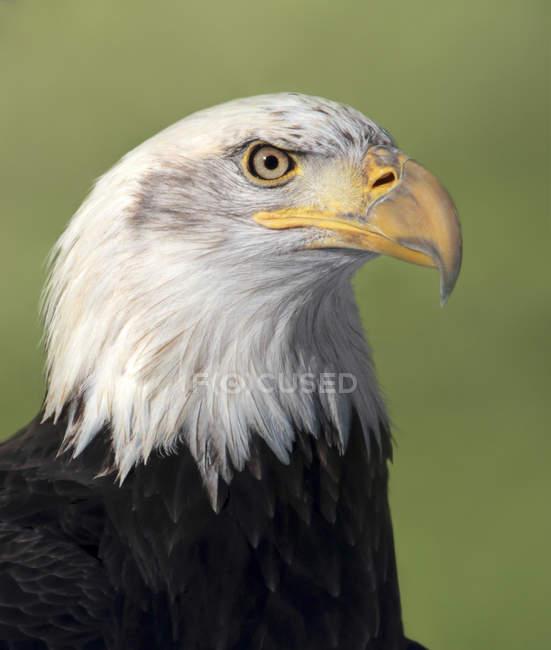 Retrato de águila calva aves rapaces al aire libre. - foto de stock