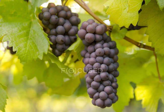 Ripe grapes ready for harvest in vineyard, close-up. — Stock Photo