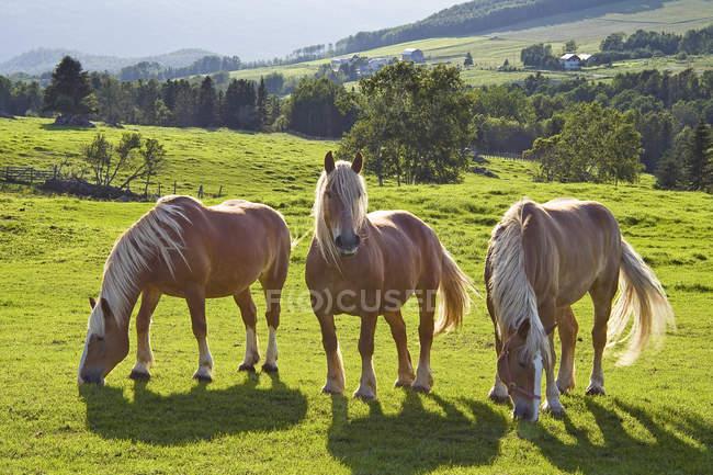Drei belgische Zugpferde auf der grünen Weide. — Stockfoto