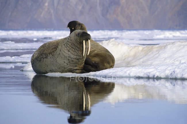 Atlantic trichechi che riposa in un paesaggio ghiacciato di Alexandra Fiord, isola di Ellesmere, alto Artico canadese — Foto stock