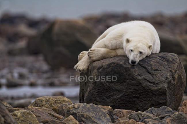 Orso polare sdraiato e rilassante sulle rocce a Churchill, Manitoba, Canada — Foto stock