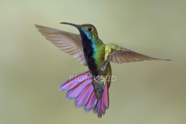 Colibrí garganta negra mango volando en el aire en Trinidad y Tobago. - foto de stock
