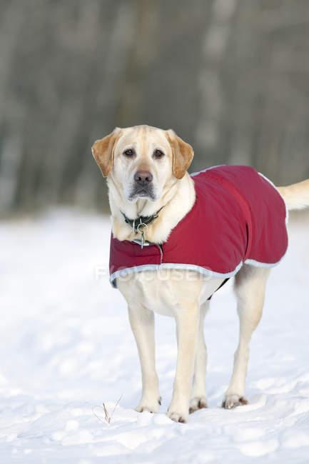 Cão retriever de Labrador amarelo, vestindo um casaco vermelho no inverno. — Fotografia de Stock