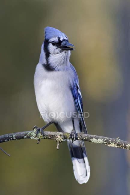 Блакитна Сойка птах сидить на гілці дерева, Закри. — стокове фото