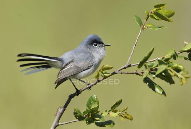 Pássaro gnatcatcher azul-cinza no poleiro na floresta . — Fotografia de Stock