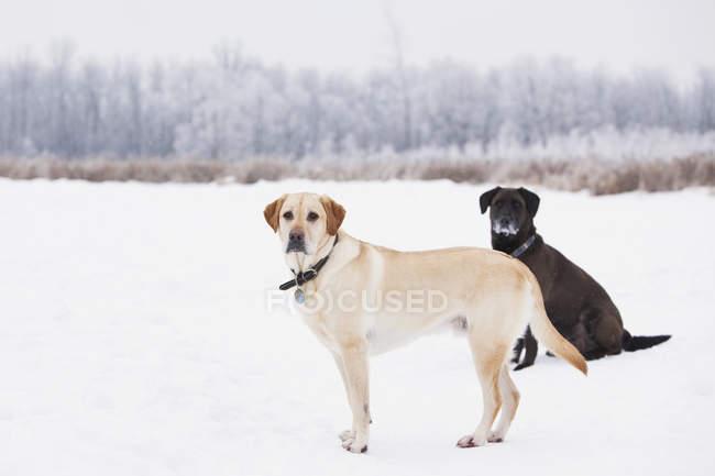 Dois labradores na paisagem de inverno nevado do Assiniboine floresta, Winnipeg, Manitoba, Canadá. — Fotografia de Stock