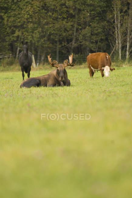 Caballo, alce y vaca juntos en el campo en Bella Coola, Columbia Británica, Canadá - foto de stock