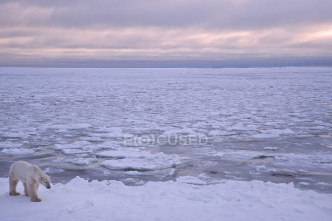 Polar bear walking on ice by ocean in Manitoba, Canada — Stock Photo