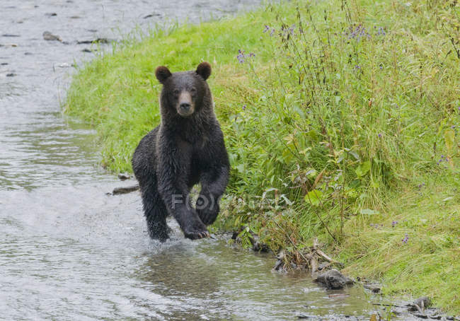 Grizzly bear running on shore of spawning stream of Fish Creek in Tongass National Forest, Alaska, United States of America. — стокове фото
